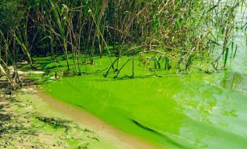 Polluted swampy river. Green water surface and thickets of marsh reeds. Seasonal flowering of diatoms